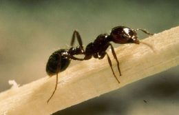 Where Are Fire Ants Found?