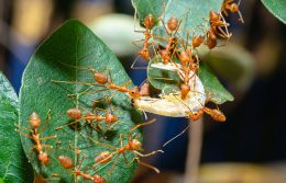 With Flooding Comes Floating Fire Ants