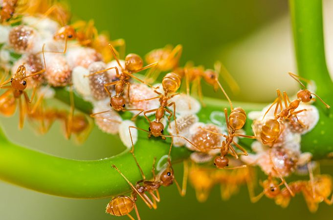 Five Facts About Fire Ants